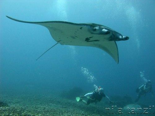 Ikan pari dan sang penyelam saling beradu cepat berenang di kejernihan air biru pesisir Teluk Meksiko.