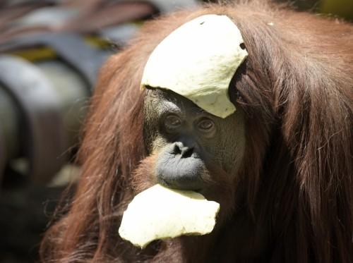 Sandra, orangutan 29 tahun, digambarkan di kebun binatang Buenos Aires, Senin. Sandra mendapat dibersihkan untuk meninggalkan kebun binatang Buenos Aires dia telah menelepon ke rumah selama 20 tahun, setelah pengadilan memutuskan ia berhak untuk kondisi hidup yang lebih diinginkan. Foto oleh Juan Mabromata / AFP / Getty Images