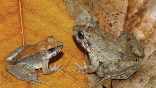 Dikutip dari laman Losangelestimes, Minggu (4/1/2015), berbeda dari jenis spesies katak yang ditemukan sebelumnya yakni berkembang biak dengan cara bertelur. Dalam sebuah hutan hujan di Pulau Sulawesi Indonesia terdapat spesies katak jenis katak bertaring yang melahirkan berudu.