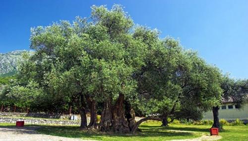 Dari zaman Alkitab, pohon zaitun menjadi simbol kesucian, kedamaian, dan persatuan. Para arkeolog telah menemukan bahwa zaitun berasal sekitar 8.000 tahun yang lalu.