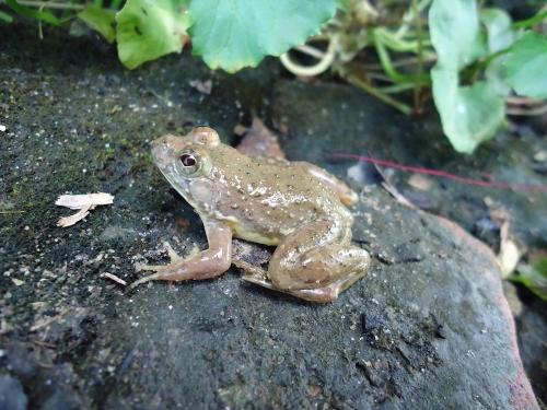 Dewasa laki-laki Euphlyctis kalasgramensis, baru ditemukan spesies katak yang hidup di Bangladesh. Kredit: M. S. A. Howlader.
