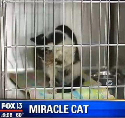 Bart kucing hebat, hidup lagi tampak sehat setelah bangkit dari kuburnya.