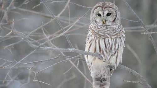 Burung hantu jenis barred owl menteror pelari pagi dengan mengambil topi mereka yang diduga digunakan mengerami telur di sarang. (Mdf/via Wikipedia)