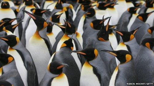 Sebuah koloni penguin raja di Antartika Lanjutkan membaca cerita utama Berita Terkait      Ribuan penguin bersarang mengumpulkan Perhiasan      Teka-teki penguin terbang 'diselesaikan' Penguin bisa mencicipi makanan hanya asam dan asin, para ilmuwan telah menemukan