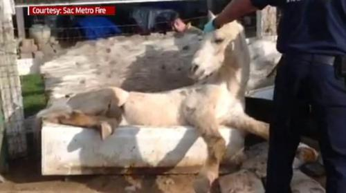 Phantom si kuda putih ini bukan sedang santai menunggu diberi makan tuannya, akan tetapi dia terperangkap tak bisa bangun, karena badannya masuk bath tub.