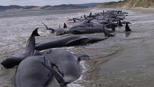 Begitu tragis nasib kawanan paus pilot yang mati terdampar.