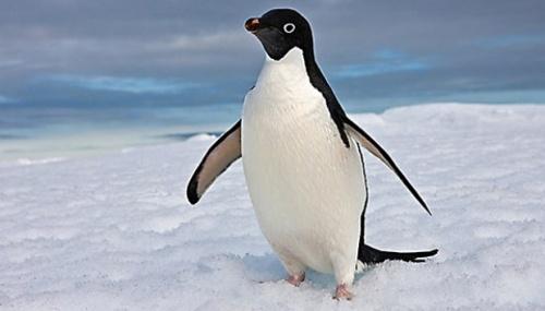 Penguin rupanya tidak bisa menikmati atau bahkan mengenali rasa gurih ikan atau rasa manis buah yang mereka santap.