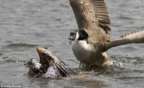 Angsa Kanada semakin berkembang biak beranak pinak. Dalam usaha melindungi anak-anaknya, Angsa  Kanada agresif mengejar elang yang hendak memangsa anak angsa.