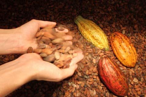 Permintaan kakao diperkirakan akan melebihi pasokan hingga 120.000 metrik ton pada tahun depan.
