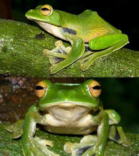 Ahli biologi Australia bersama tim dari Vietnam baru saja mendapat penemuan menakjubkan. Mereka menemukan seekor katak yang dapat berpindah kurang dari 100 km. Caranya berpindah itu pun mirip dengan aktivitas terbang.Katak warna hijau muda ini ditemukan di suatu tempat berjarak 90 km dari Ho Chi Minh City, Vietnam. Ia mampu meloncat sejauh 20 m di antara pepohonan dan hanya turun ke tanah saat bertelur.