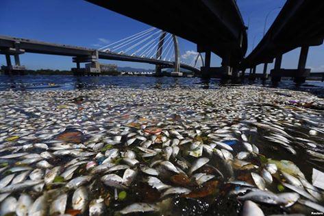 Ribuan ikan mati tanpa diketahui penyebabnya di pinggiran Teluk Guanabara di Rio de Janeiro,