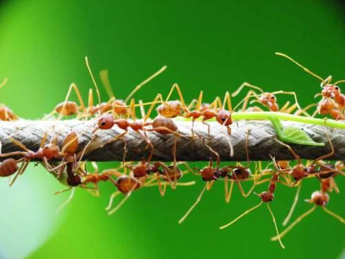 Semut rangrang atau semut api (Solenopsis geminate ) itu mempunyai ukuran yang lebih besar daripada semut yang biasa menghampiri makanan kita. Selain itu, warnanya juga coklat dan ada sedikit warna hitam di badannya.