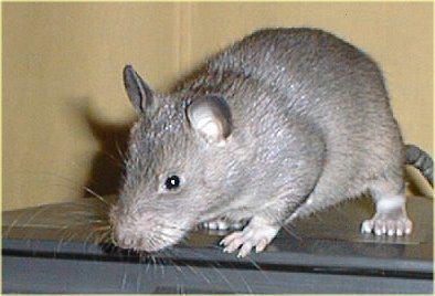 tikus raksasa berkantung Afrika(Cricetomys gambianus) yang pencimuannya sangat peka untuk dilatih