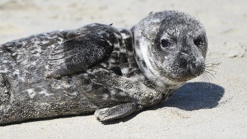 Meningkatnya suhu perairan, membuat anakan anjing laut menuju pantai untuk berbaring.