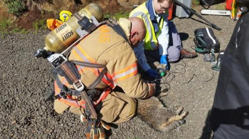Kucing satunya lagi sedang ditangani petugas pemadam kebakaran.