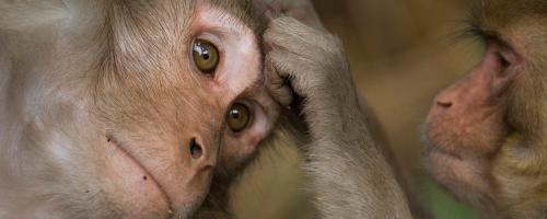 Monyet jantan bergaul dengan ayahnya.