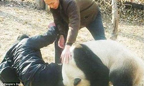 Petugas penyelamat sedikit kesulitan menghalau panda liar yang sedang menggigit kaki kanan Guan.