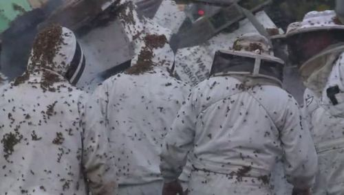 Jutaan lebah menyengat petugas penyelamat yang memakai pakaian anti panas dan sengatan, juga sarung tangah dan helm penutup kepala. Jutaan lebah semakin beringas bertebangan ke segala arah, saat suhu jalanan meningkat tajam di siang hari bolong.
