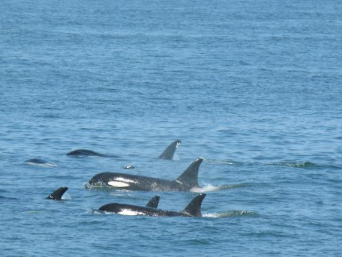 Tiga ekor lumba-lumba terdampra di Teluk Benoa, Bali berhasil diselamatkan lalu dilepas kembali ke perairan Bali.