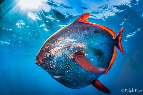 The opah ( Lampris guttatus ) , atau