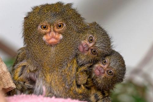 Tiga ekor pigmi marmoset alias monyet kecil batal diberangkatkan ke kebun binatang Riyadh, Arab Saudi.
