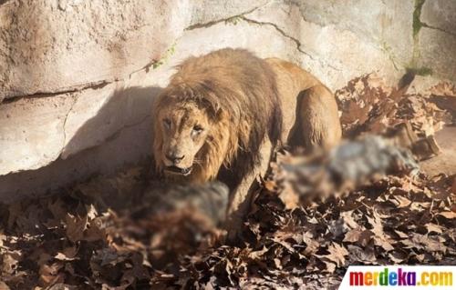 Singa P22 datang mengendap-endap ke sebuah rumah berpenghuni di kawasan California.