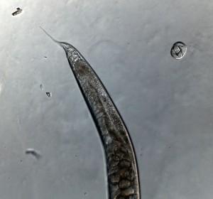 Cacing Caenorhabditis elegans betina.