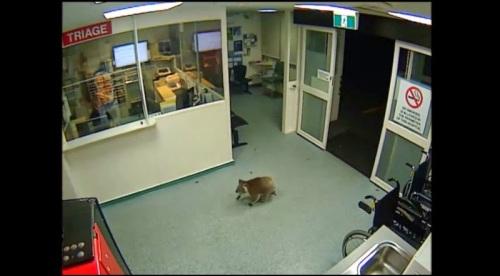 Penampakan seekor koala terekam CCTV memasuki rumah sakit di Australia.