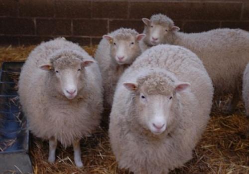 Domba-domba kloning keturunan Dolly yang hidup tujuh tahun lalu. (Daily Mail)