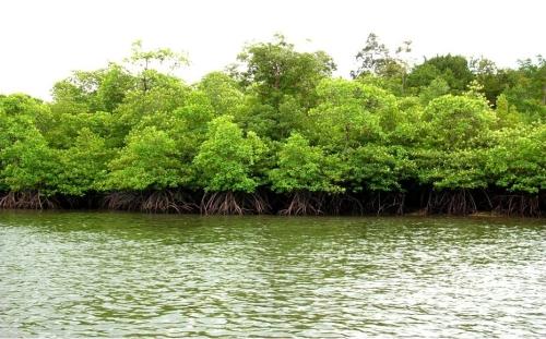 Hutan mangrove meindungi pantai dari abrasi air laut.