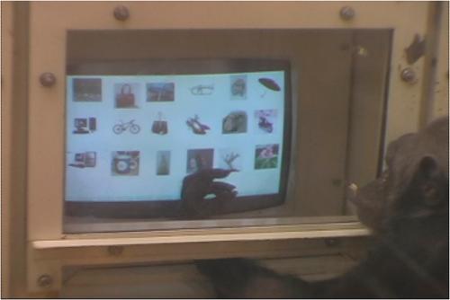 Simpanse betina Chloe melakukan tugas pencarian visual.