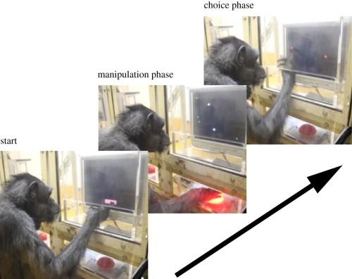 Simpanse Pendesa sedang dilatih untuk menyentuh layar digital, untuk menemukan gambar dirinya di layar monitor.