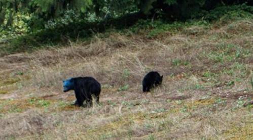 Beruang kepala biru yang mengundang perhatian Aaron untuk memotretnya.