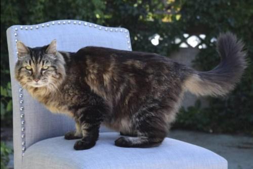 Korduroi sekarang kucing tertua yang dikenal di dunia, dengan mengesankan 26 tahun dan 14 hari untuk namanya .