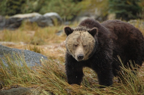 Seekor beruang grizzly menjelajah dekat Sungai Koeye di SM ' s Central Coast di foto file ini . ( Chris Darimont / University of Victoria ) ...
