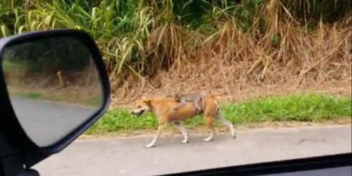 Anak monyet dengan santai duduk di punggung anjing, berjalan menyusuri jalan raya. Foto / Video Zainal Azman Hj Bidin.