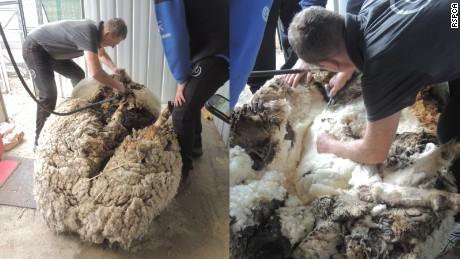 Bulu domba Chris setelah dicukur lalu ditimbang, menghasilkan berat 40,45 kilogram.
