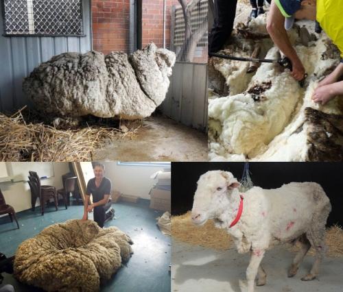 Chris domba berbulu lebat dan tebal sesaat sebelum dicukur bulunya.