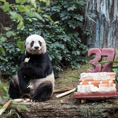 Panda Jia Jia sedang merayakan ulang tahunnya yang ke-37. Ia tengah asyik mengunyah bambu muda. AP PHOTO / Philippe Lopez