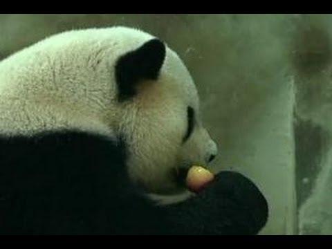 Panda liar di Baoxing mencoba menu baru, yakni mencicip madu manis milik petani di Provinsi Sichuan, Tiongkok.