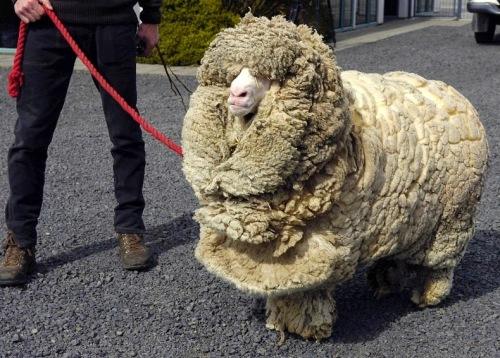 Dan ini adalah domba Shrek asal Selandia Baru dengan berat bulu setelah dicukur 27 kilogram.