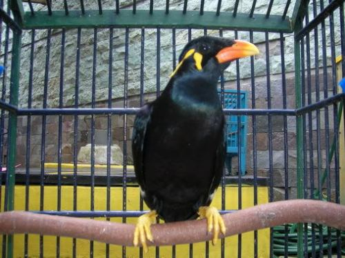 Burung beo dalam sangkar ini menjadi impian Ma dan ayahnya untuk memilikinya.