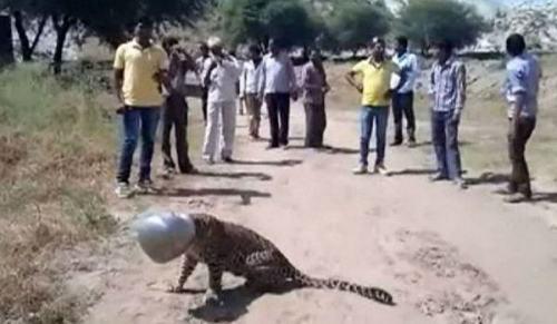 Adegan menegangkan ini mengundang perhatian warga perkampungan Sadulkhera.