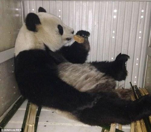 Kelas : panda raksasa Hao Hao menikmati makan di koper dibuat khusus selama perjalanannya di pesawat