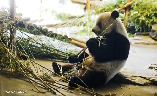 Panda raksasa Xing Hui makan bambu di kebun binatang Daiza Pairi di Brugelette , Belgia , pada 4 April 2015. Sepasang panda raksasa dari China , Xing Hui , laki-laki ,