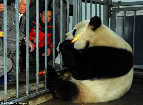 pejabat Belgia memenuhi Xing Hui sebelum upacara untuk mengirimkan dua panda di China Penelitian Konservasi dan Pusat panda raksasa di Dujiangyan , provinsi Sichuan.