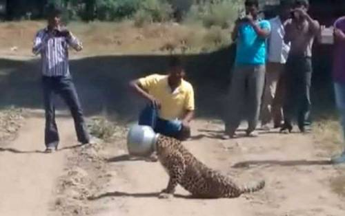 Polisi hutan Rajasthan berusaha membuka belanga yang menjepit kepala macan tutul.