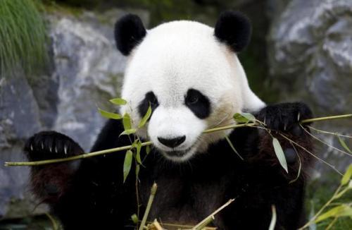 Xing Hui , panda raksasa 6 tahun lahir di Cina , makan bambu di taman satwa liar Pairi Daiza di Brugelette , Belgia 28 September 2015. peneliti Belgia yang meneliti kotoran panda raksasa untuk memahami bagaimana beruang dapat mencerna bambu sulit , berharap untuk petunjuk pada ... Reuters / Francois Lenoir.