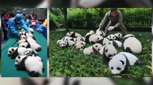 Ada 23 ekor panda di penangkaran yang tampil di publik. Sejumlah 18 ikut mejeng dalam potret keluarga. (foto: Imagine China)