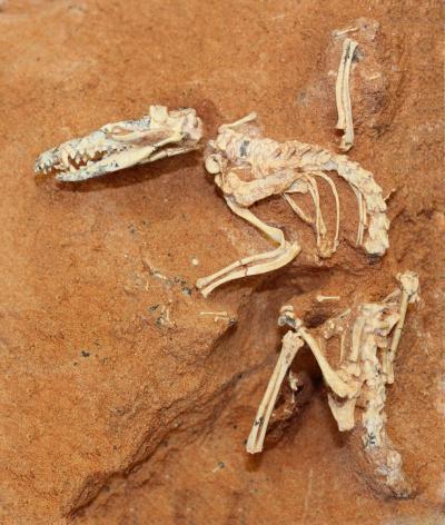 Ini Cretaceous - usia hewan tikus kesturi berukuran , Ukhaatherium nessovi , yang ditemukan pada tahun 1994 di Gurun Gobi oleh Akademi Mongolia dan American Museum of Natural History , adalah salah satu dari banyak mamalia yang digunakan dalam mamalia pohon -hidup studi terbaru .